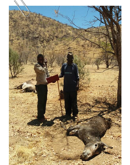 Cliff Tjitundi collecting data at a site in Omatendeka where five donkeys were killed by lions in October this year