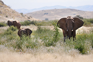 From elephant killing to protecting, the story of Puros Conservancy